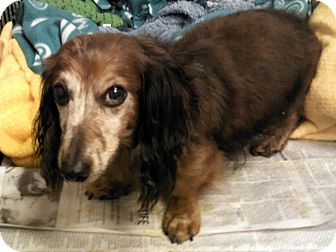 Dachshund Dog for Sale in Pottsville, Pennsylvania - Max VERY URGENT!!