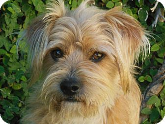 Terrier (Unknown Type, Small) Mix Dog for Sale in Thousand Oaks, California - Buddy