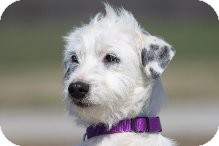Terrier (Unknown Type, Small)/Jack Russell Terrier Mix Dog for adption in Russellville, Kentucky - Pearl