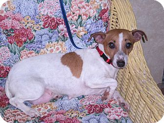 Jack Russell Terrier Dog for Sale in New Castle, Pennsylvania -