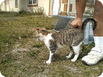 Domestic Shorthair Cat for adoption in Naples, Florida - COTTON