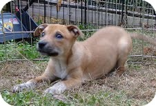 Boxer/Terrier (Unknown Type, Medium) Mix Puppy for Sale in Washington, D.C. - Frankie the Fish ($50 off)
