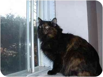 Domestic Mediumhair Cat for adoption in Lethbridge, Alberta - Chynna