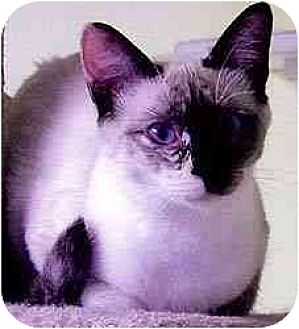 Siamese Cat for adoption in Clovis, New Mexico - Crystal