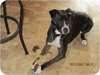 Memphis, TN - German Shorthaired Pointer/American Pit Bull Terrier Mix