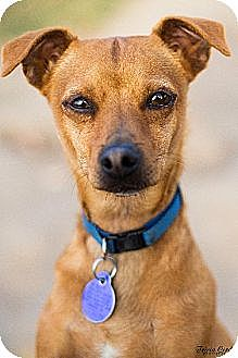 Chihuahua Mix Puppy for adption in Fresno, California - Pablo