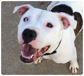 American Bulldog/American Pit Bull Terrier Mix Dog for Sale in Louisville, Kentucky - Tulip