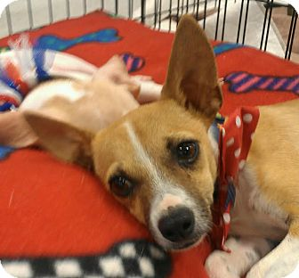 Chihuahua Mix Puppy for adption in Phoenix, Arizona - tank