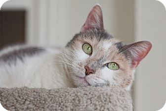 Domestic Shorthair Cat for adoption in Chicago, Illinois - Sharapova