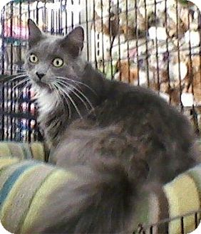 Domestic Mediumhair Cat for Sale in Bear, Delaware - Elliott