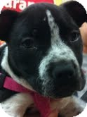 Pit Bull Terrier/Boston Terrier Mix Puppy for Sale in Modesto, California - Cookie