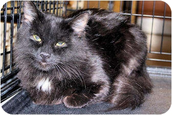 Domestic Mediumhair Cat for Sale in Morganton, North Carolina - Meredith
