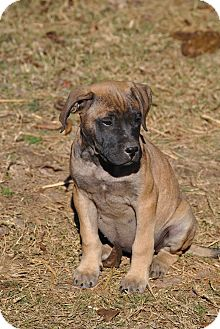 English Mastiff/Bullmastiff Mix Puppy for Sale in cumberland, Rhode Island - Mattie