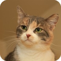 Calico Cat for Sale in Albany, New York - Samara