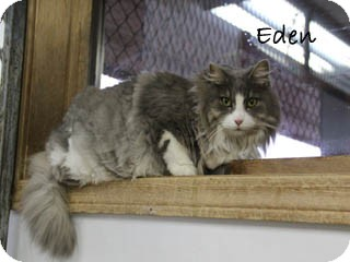 Maine Coon Cat for Sale in Hamilton, Montana - Eden