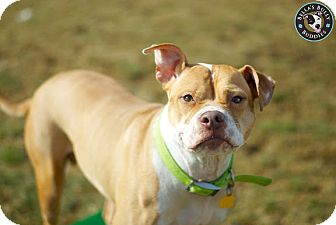 American Pit Bull Terrier/American Staffordshire Terrier Mix Dog for adption in Perry Hall, Maryland - Strawberry