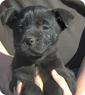 Labrador Retriever/Boxer Mix Puppy for Sale in Sussex, New Jersey - Titan