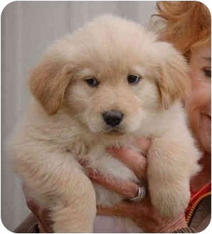 Golden Retriever/Nova Scotia Duck-Tolling Retriever Mix Puppy for Sale in Hartford, Connecticut - Barli RDV