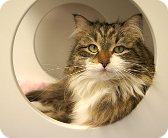 Maine Coon Cat for Sale in Colorado Springs, Colorado - Maddy