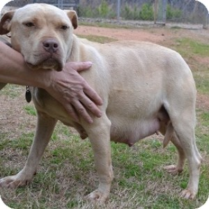 Pit Bull Terrier Mix Dog for Sale in Athens, Georgia - Nina
