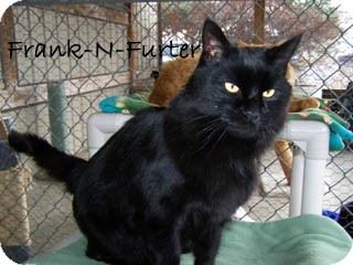 Domestic Mediumhair Cat for Sale in Hamilton, Montana - Frank
