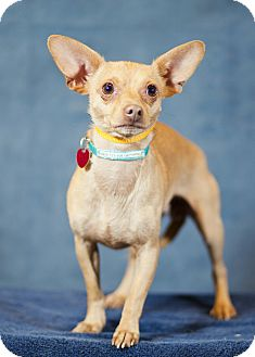 Chihuahua Mix Dog for adption in Westminster, Colorado - Hades &quot;Buddy&quot;
