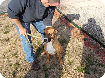 Boxer Mix Dog for adption in Heber Springs, Arkansas - Bella