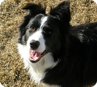 Border Collie Dog for Sale in Meridian, Idaho - Vail