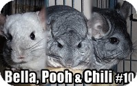 Chinchilla for Sale in Virginia Beach, Virginia - Bella, Pooh, Chili #10