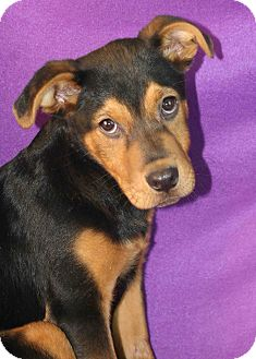 Rottweiler Mix Dog for Sale in Westminster, Colorado - Parker