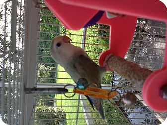Lovebird for adoption in Punta Gorda, Florida - Boomer