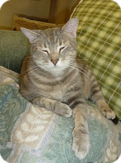 Domestic Shorthair Cat for adoption in Lake Charles, Louisiana - Buddy