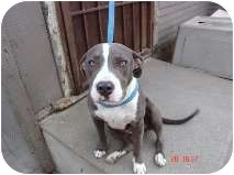 American Pit Bull Terrier Puppy for Sale in Bellflower, California - Beth