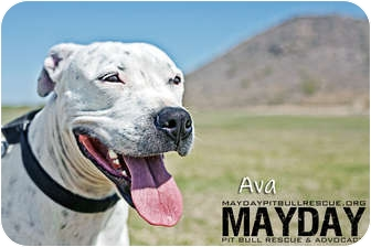 American Pit Bull Terrier Mix Dog for adption in Phoenix, Arizona - Ava