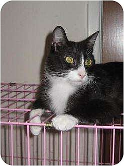 Domestic Mediumhair Cat for adoption in Rancho Cordova, California - Suzanne