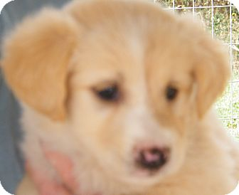 Border Collie Mix Puppy for Sale in manasquam, New Jersey - Angie