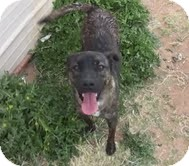 American Pit Bull Terrier Mix Dog for adption in Midland, Texas - Jaden
