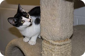 Domestic Shorthair Kitten for adoption in Elfers, Florida - Fernando