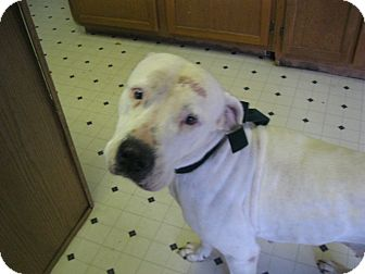 American Bulldog Dog for adption in Pelham, New York - Paige