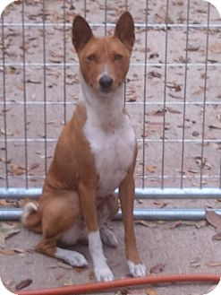 Basenji Dog for adption in Seminole, Florida - Anubis