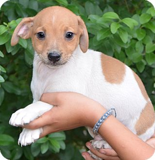 Chihuahua Mix Puppy for Sale in Ocala, Florida - Harley