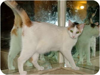 Domestic Shorthair Cat for Sale in Chattanooga, Tennessee - Opal