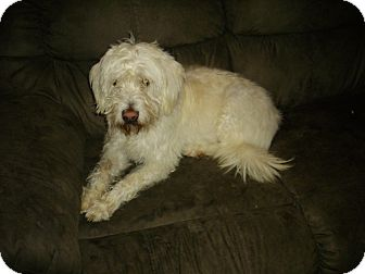 Wheaten Terrier Mix Dog for Sale in Sheridan, Oregon - Ginger
