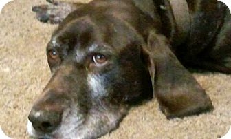 German Shorthaired Pointer Mix Dog for adption in Cedar Rapids, Iowa - Sean