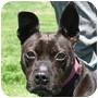 Adopt A Pet :: Beetle - Huntley, IL