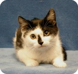 Domestic Shorthair Cat for Sale in Sacramento, California - Sporty