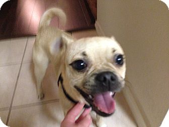 Pug/Chihuahua Mix Dog for adption in Austin, Texas - Cash