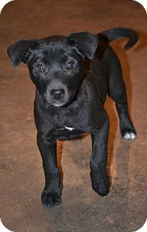 Labrador Retriever/Border Collie Mix Puppy for Sale in Glastonbury, Connecticut - Linus~meet me~
