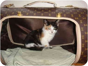 Calico Kitten for Sale in New York, New York - Mia