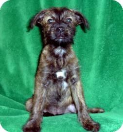Terrier (Unknown Type, Medium) Mix Puppy for Sale in Tucson, Arizona - Shep